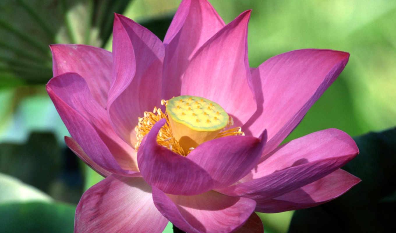 цветы, lotus, рисунки, арктотис,