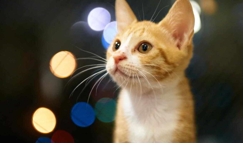 котенок, рыжий, смотреть, domingo, acabando,