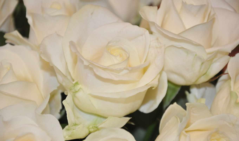 розы, цветы, white, rosen, белые розы, wei,