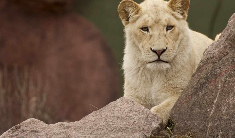 lion, львица, zhivotnye, white, природа, друзья,