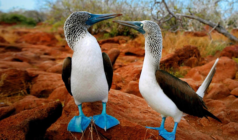 птицы, красивые, самые, птиц, мира, олуша, птица, голубоногая, названия, олуши, world,