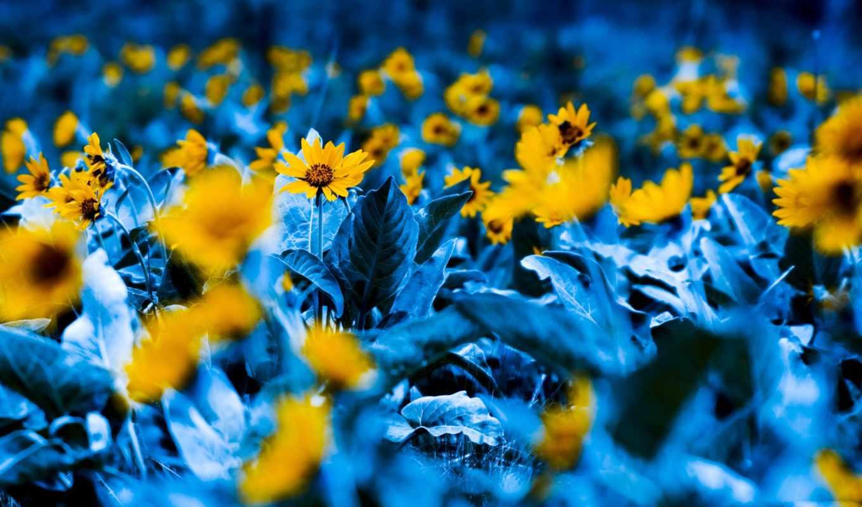 flowers, blue, yellow, garden, cvety, цветы, подсолнух,