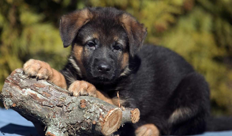 собака, немецкой, овчарки, desktop, black, щенок, shiba,