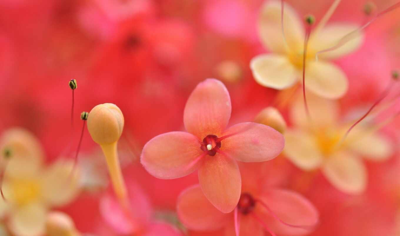 mac, smartphones, цветы, petals,