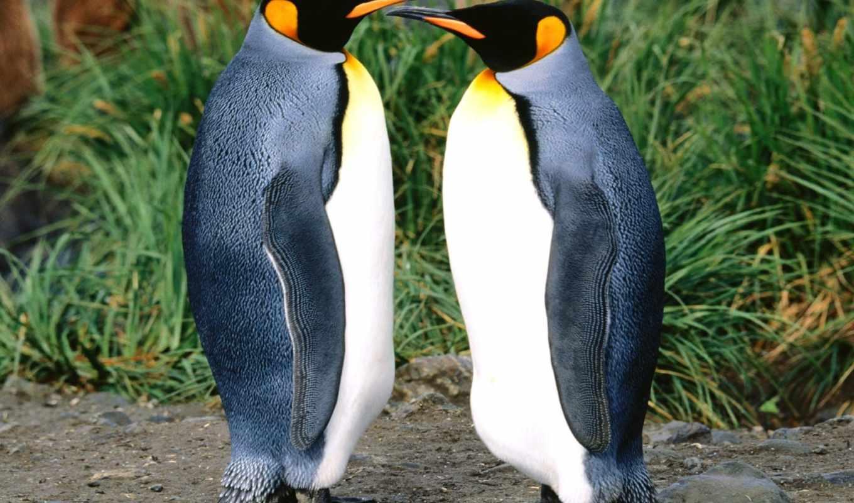 king, penguins, desktop, пингвин, high, widescreen,