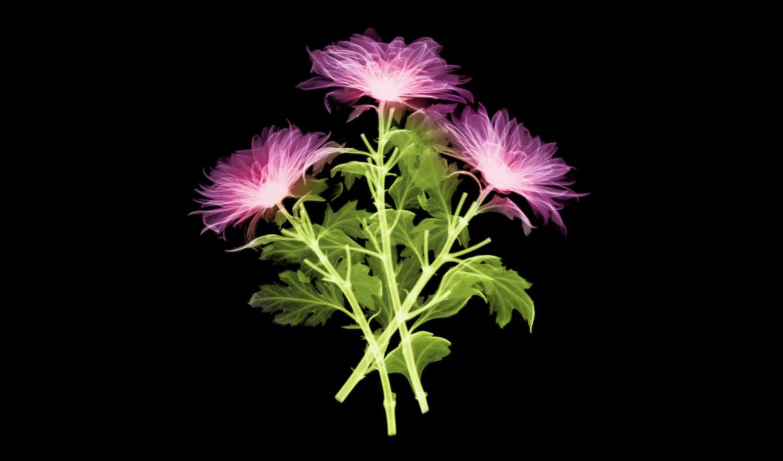 ray, fowers, flowers, цветы, resolution, xray,
