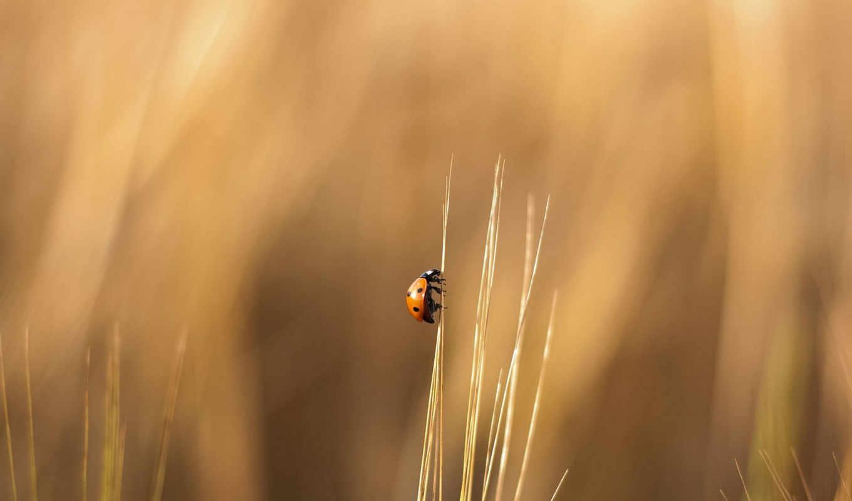 божья, коровка, трава, wallpaper, картинка, картинку, травинке, насекомое, поле, ladybug, ползет, wallpapers,