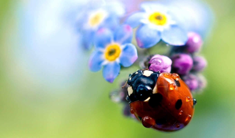 божья, коровка, ladybug,