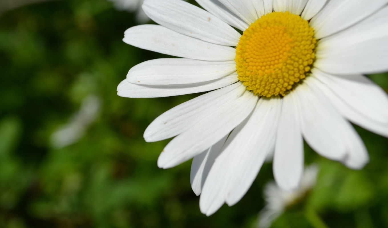 цветы, white, yellow, ромашка, зелёный,