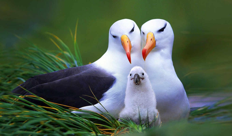 гнездо, albatross, дек, ёко, меня, птицы, разделе, zhivotnye,