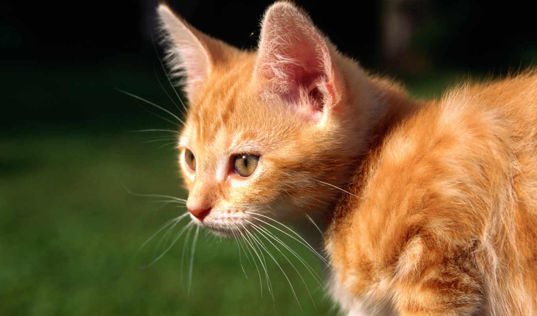 red, кот, котенок,