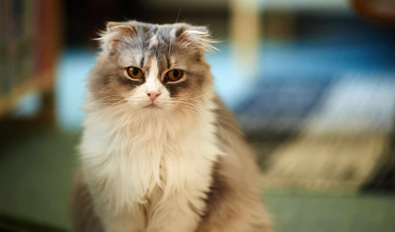 zhivotnye, взгляд, кот,,, вислоухая, серая, коты,,