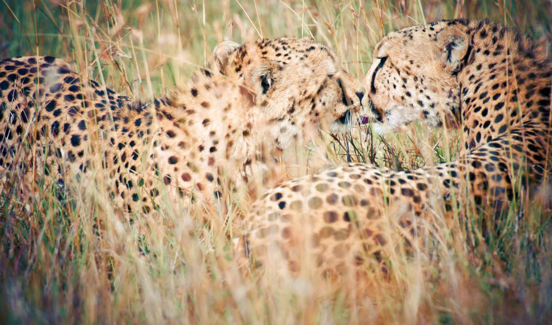 гепард, изображение, size, animal, категория, are, animals, картинка,