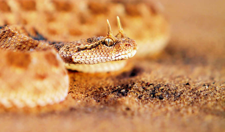 трава, змеи, листва, viper, snake, песчаная, изгиб, рогатая,