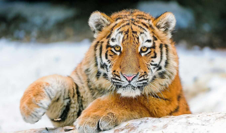 тигр, cute, animal, красивый, amazon, line, лапа
