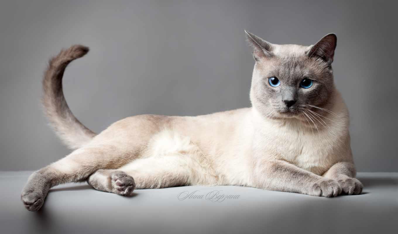 высоком, кошек, kot, кошка, тайская,