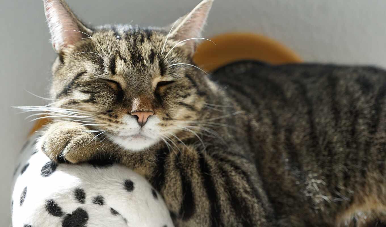 кот, free, splinter, серый, тигр, день, деревня, диван