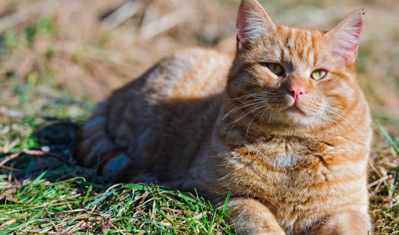 кот, red, природа, summer, кошки, zhivotnye, стёпка, котенок, трава, дачный, пудель,
