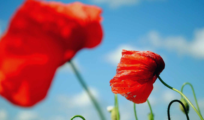 цветы, kartinika, poppy, free