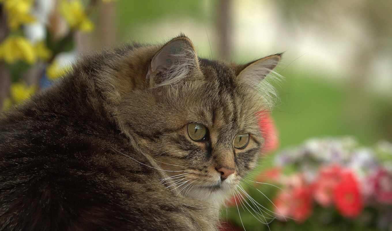 кот, domestic, short, котэ, fondo, tsubasa, hewan, abyssinian, волосы