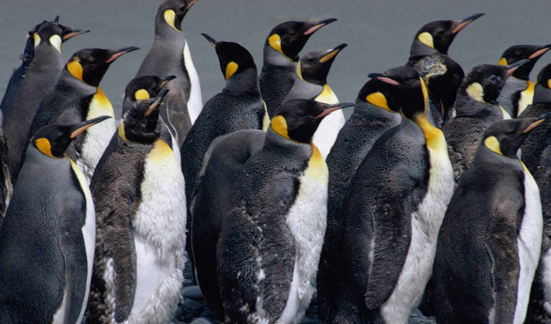 penguin, penguins, животными, чтобы, пингвинов, pingvin, картинку, реальном, её, размере, стадо, ìéãó, просмотреть,