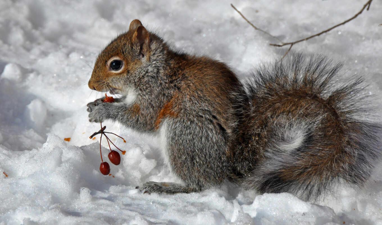 зима, белка, ягоды,