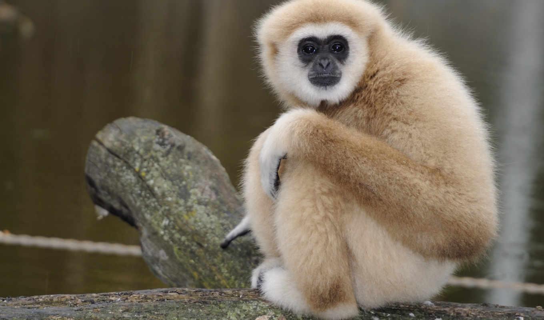 обезьяны, обезьяна, красивые, очень, ipad,