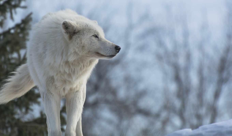 волк, снег, wolves, desktop, free, profile, white,