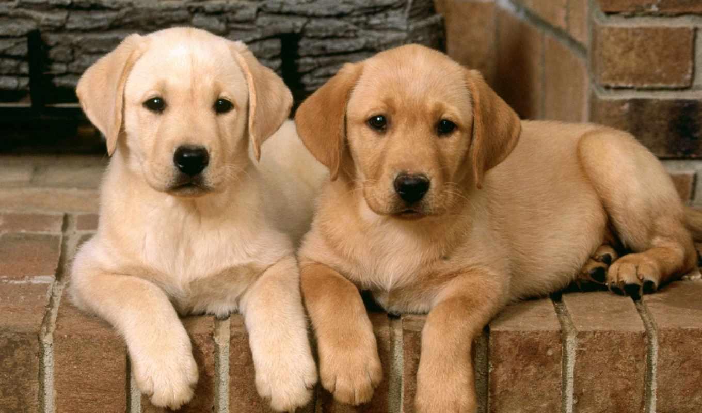 labrador, dogs, щенки, retriever, retrievers, картинка, trouble, double, wallpaper, собачки, dog, собаки, лабрадора,