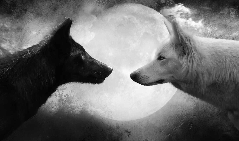 волк, and, white, белый, wallpaper, black, черный, луна, wolf, pictures, волки, hd, wolfs, животные, волков, to,