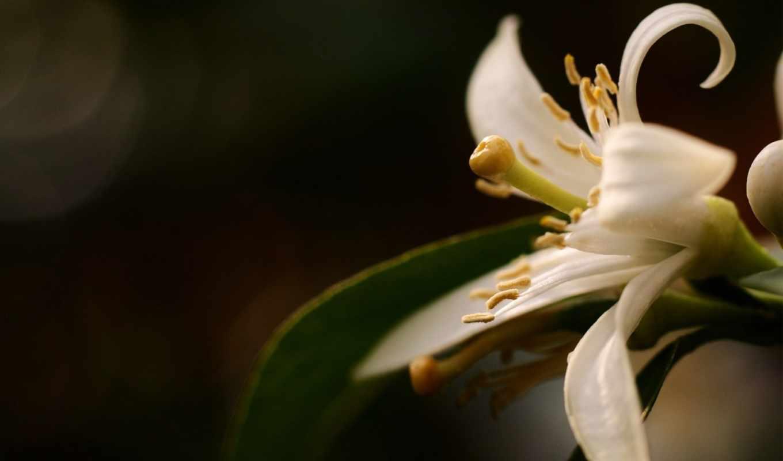 макро, белый, лепестки, цветок, картинку,