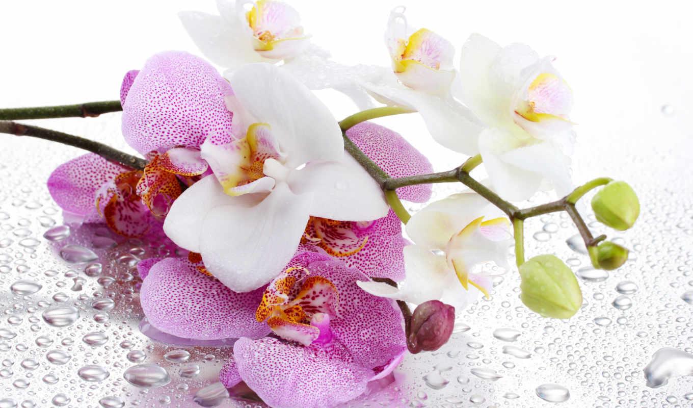 орхидея, цветок, белые, фиолетовые, лепестки, вода, капли,