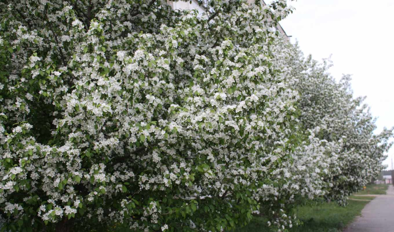 яблоня, цветы, белый, весна,