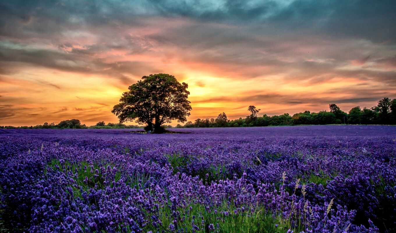 поле, lavender, лаванды, закат, landscape, природа, поля, закате, лавандовое, цветы,