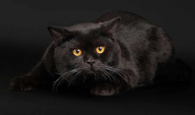 кот, кошки, black, черная, взгляд, играет, чернофм, fone,