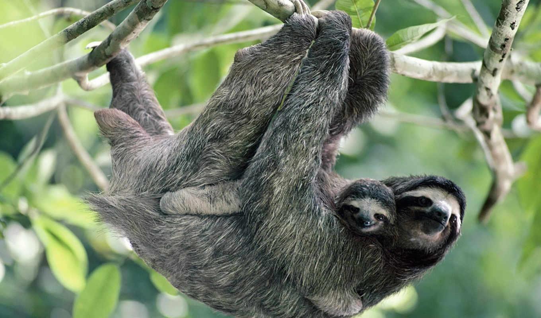 животными, sloth, animali, фона, foto, веселые, малышом, cuccioli, per, حس, branche, животные,