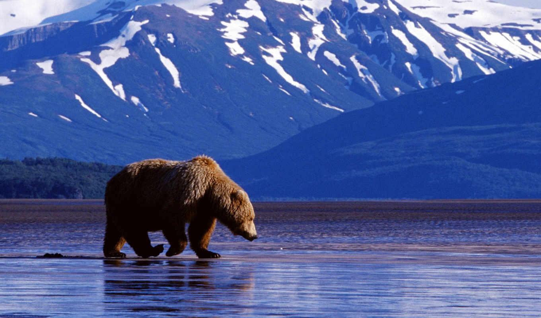 медведь, горы, вода, alaska, животные, картинку, what, usa,