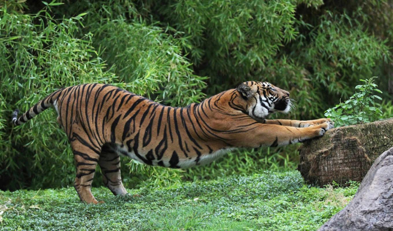 tiger, веселые, фона, животными, size, животные, resoloution, bytes, selected, трава, кошки, большие, тигры, click,