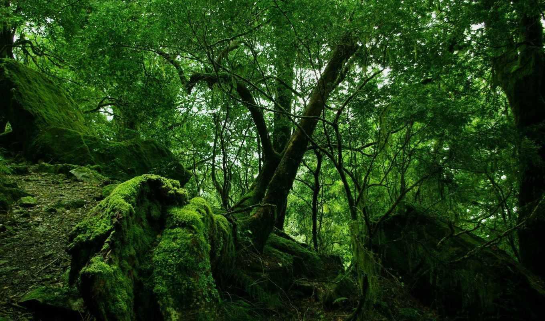 лес, деревья, зелень, природа, мох, дремучий, камни, ветки, ветви, цвет,