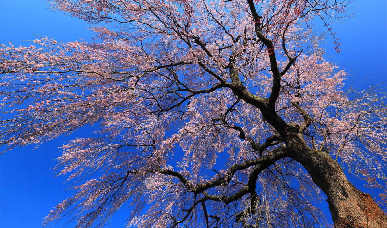 цветущее, дерево, весной, wallpapers, изображения, поделиться, вернуться, nature,