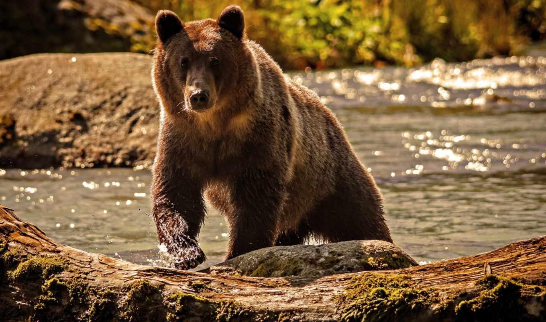 медведь, животные, река, браун,