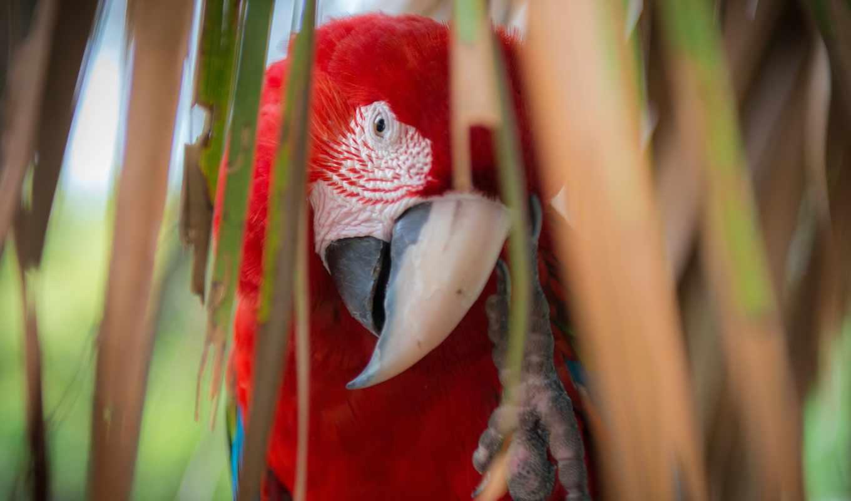 macaw, red, зелёный, scarlet, ara, макао,