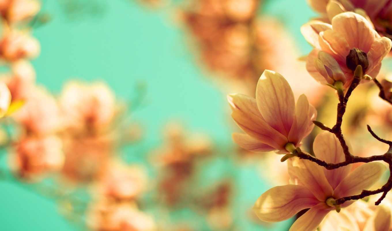 flores, цветы, магнолия , ваниль,