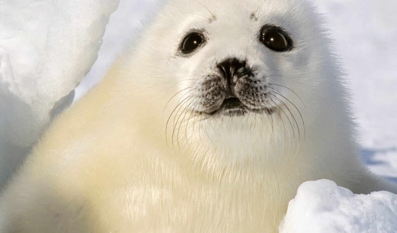 тюлень, малыш, white, снег, детёныш, свет, winter,