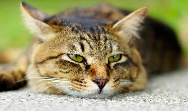 кошки, кот, zhivotnye, глазами, коты, разных,