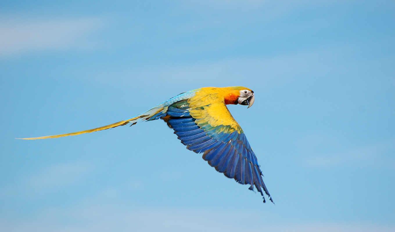 true, macaws, flying, птица, animals, desktop, mobile,