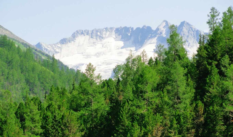 деревья, лес, снег, природа, зелёный, белые,