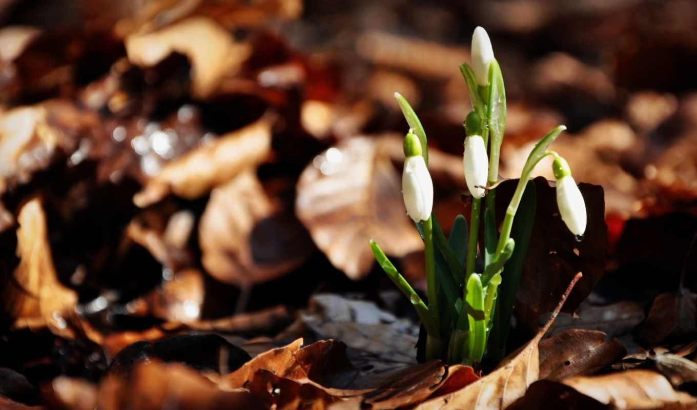 цветы, весна, природа, весенние, красивые, макро, природы, подснежники,