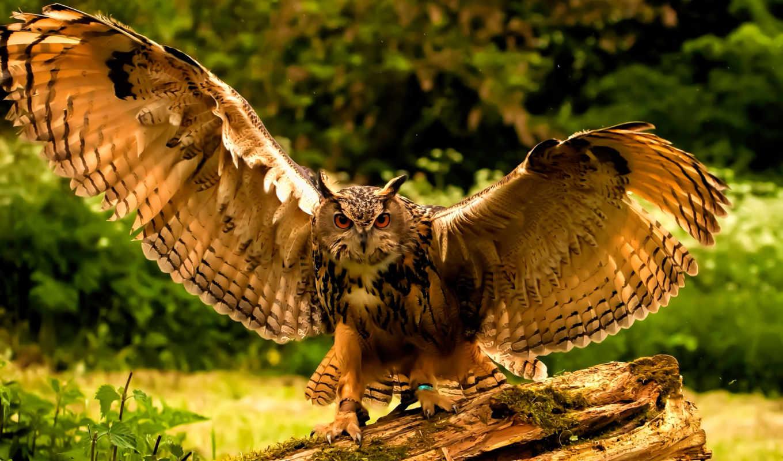 взгляд, страница, дерево, сова, птица, zhivotnye, перья, филин, крылья,