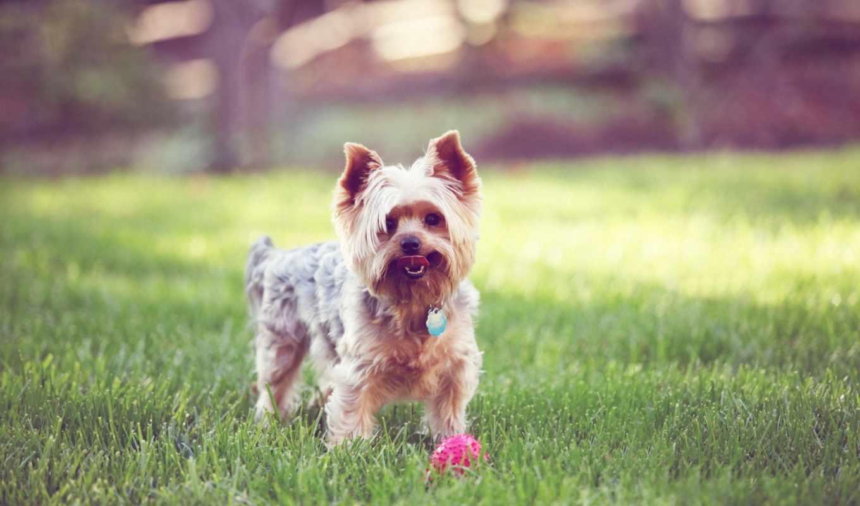 бультерьер, йоркширский, собака, собаки, трава, когда, ждет,